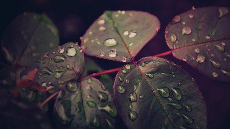 leaves, plant, drops