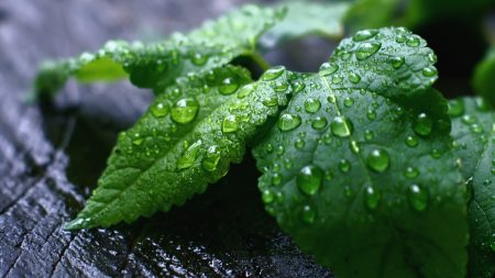 leaves, plants, drops