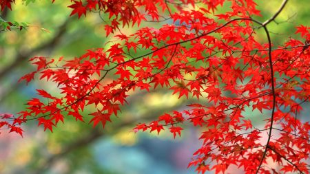 leaves, red, autumn
