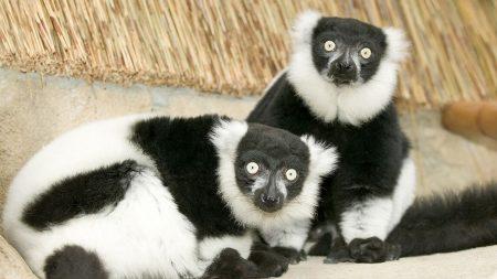 lemur, black, white