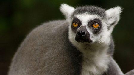 lemur, face, eyes