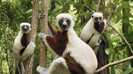 lemur, grass, twigs