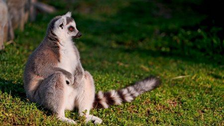 lemur, tail, tabby