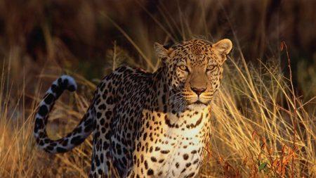 leopard, big cat, predator