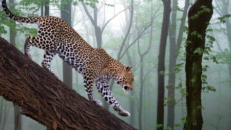 leopard, branch, trees