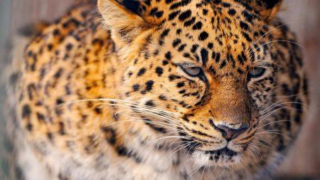leopard, cat, big
