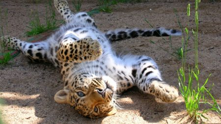 leopard, cub, tumbling