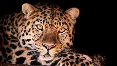 leopard, face, dark
