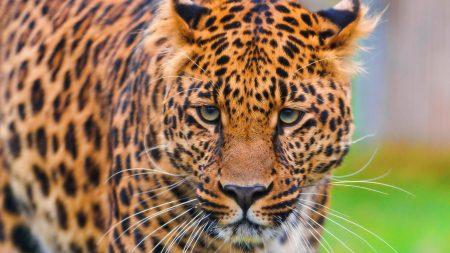 leopard, face, grass