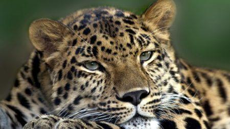 leopard, face, look