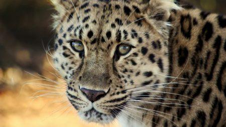 leopard, face, old