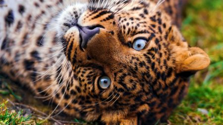 leopard, face, predator