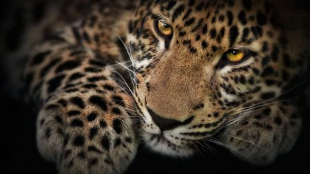 leopard, face, shadow