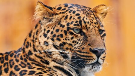 leopard, face, spotted