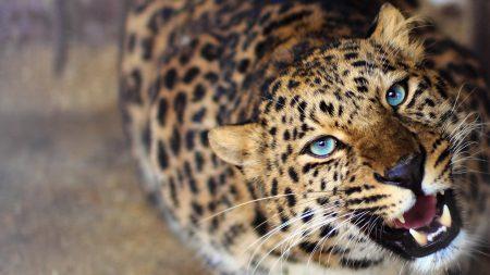 leopard, face, teeth