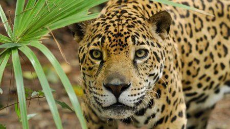 leopard, grass, eyes