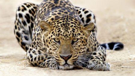 leopard, lie, hunt