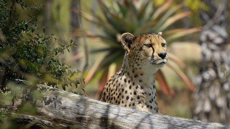 leopard, log, big cat