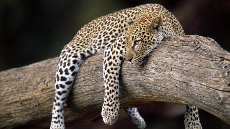 leopard, lying, tree