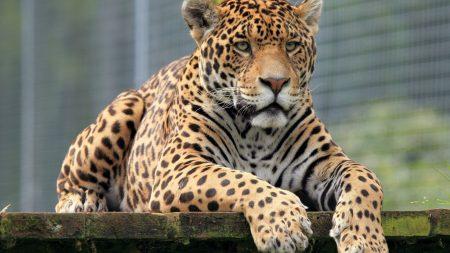 leopard, muzzle, big cat