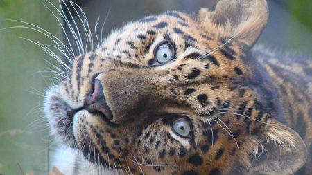 leopard, muzzle, predator
