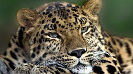 leopard, sad, face