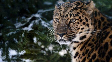 leopard, snout, snow