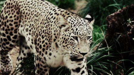 leopard, walking, grass