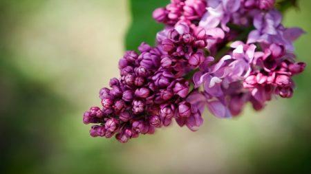 lilac, bindweed, bloom