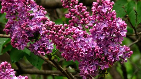 lilac, blossoms, branch