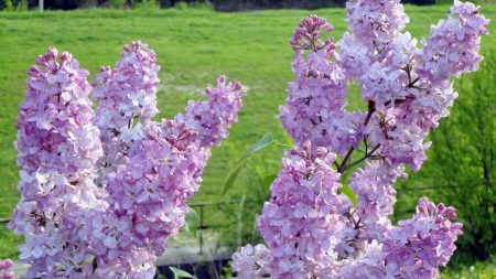 lilac, blossoms, twigs
