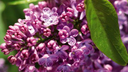 lilac, branch, drops