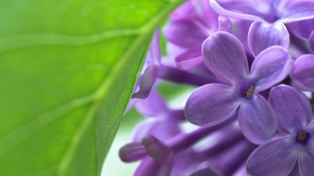 lilac, bud, flowers