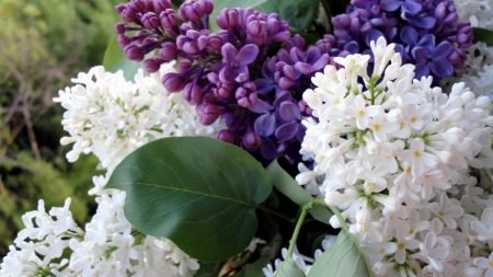 lilac, flowering, branches