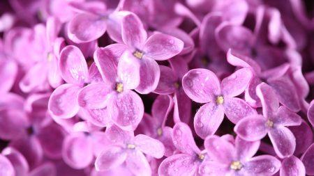 lilac, flowers, petals