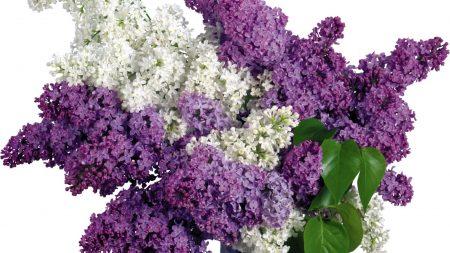 lilac, purple, white