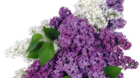 lilacs, bloom, bouquet