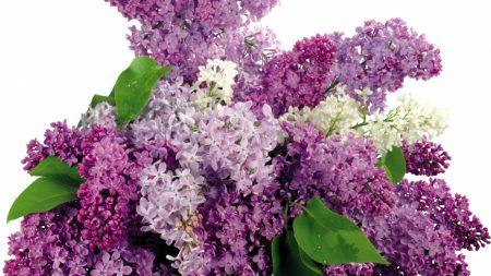 lilacs, bloom, flower