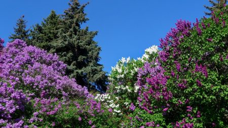 lilacs, bloom, nature