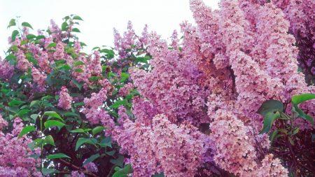 lilacs, bloom, spring
