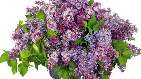 lilacs, bouquet, big