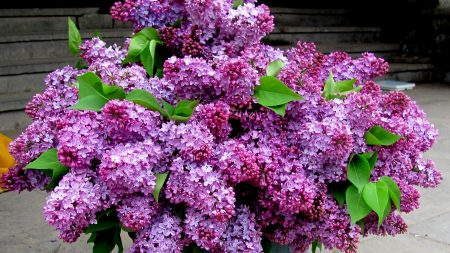 lilacs, bouquet, bucket