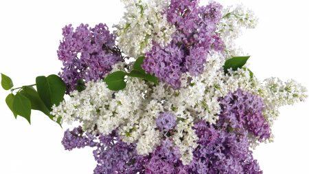 lilacs, bouquet, white