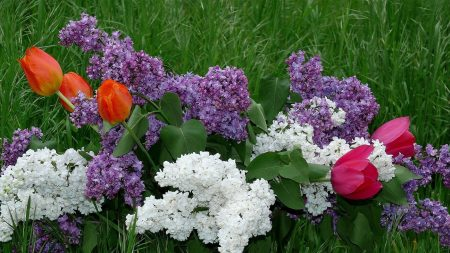 lilacs, tulips, flowers