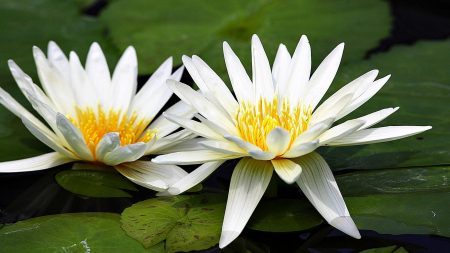 lilies, couple, water