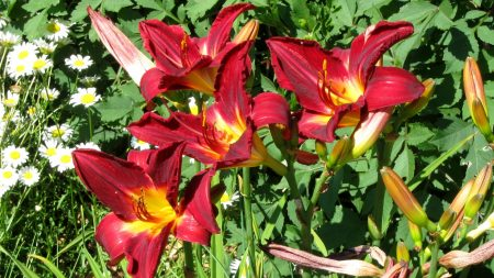 lilies, daisies, flowers
