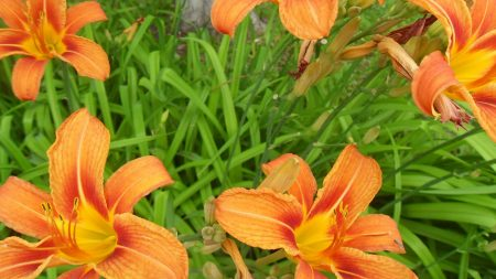 lilies, flowers, bright