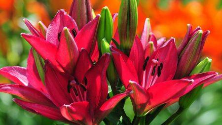 lilies, flowers, buds