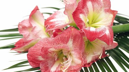 lilies, flowers, colorful