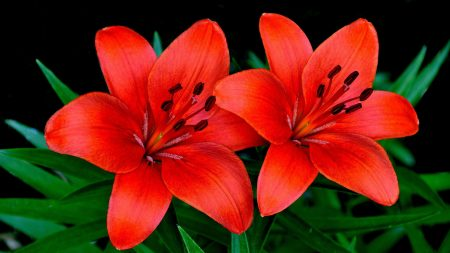 lilies, flowers, couple